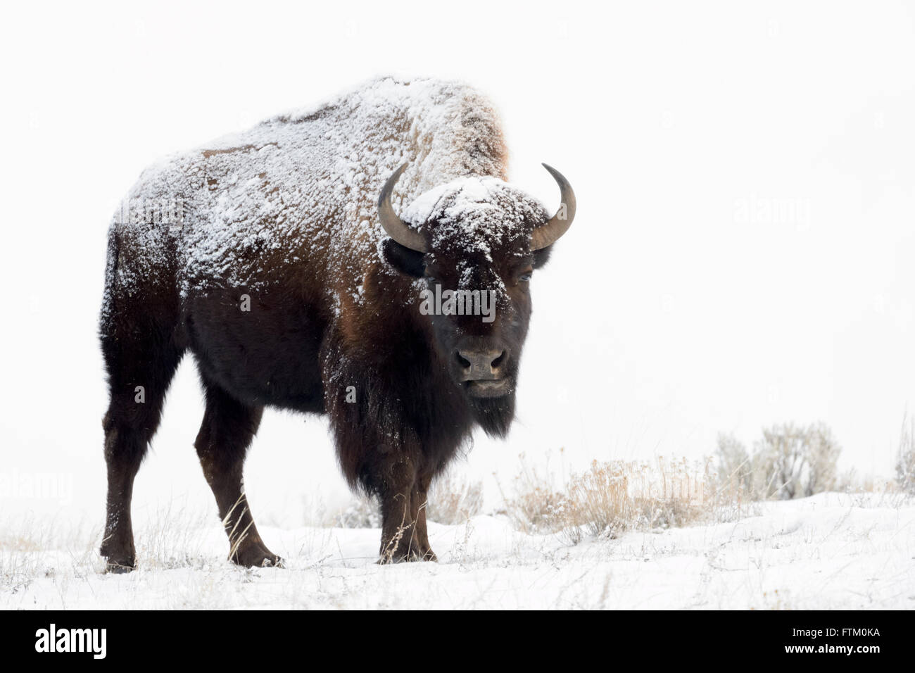 American Bison (Bison bison), standing in snow, Lamar Valley, Yellowstone National Park, Wyoming, Montana, USA - Stock Image