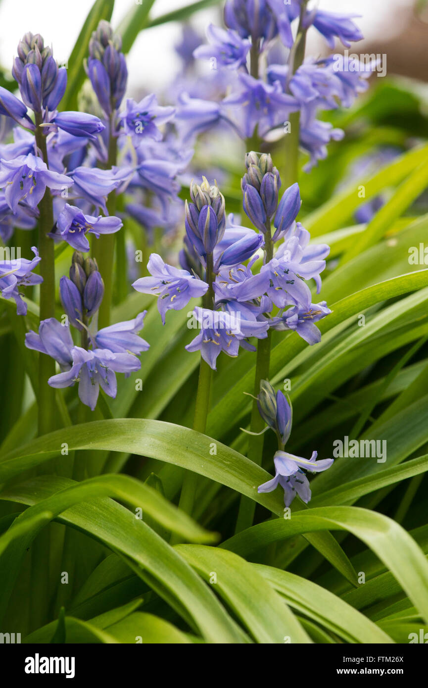 Hyacinthoides hispanica. Spanish bluebells in a garden. Invasive plant species Stock Photo