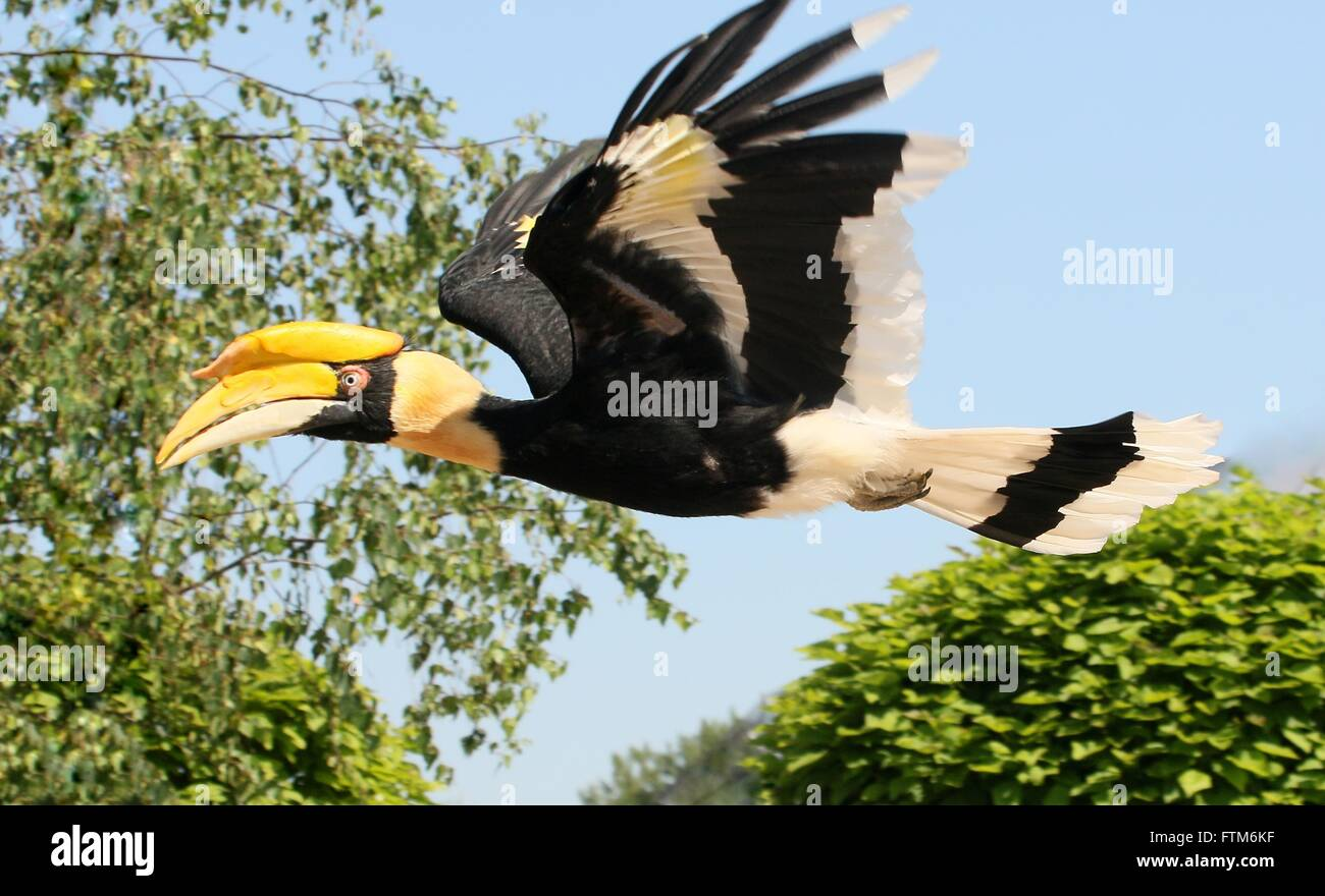 Flying Hornbill High Resolution Stock Photography And Images Alamy