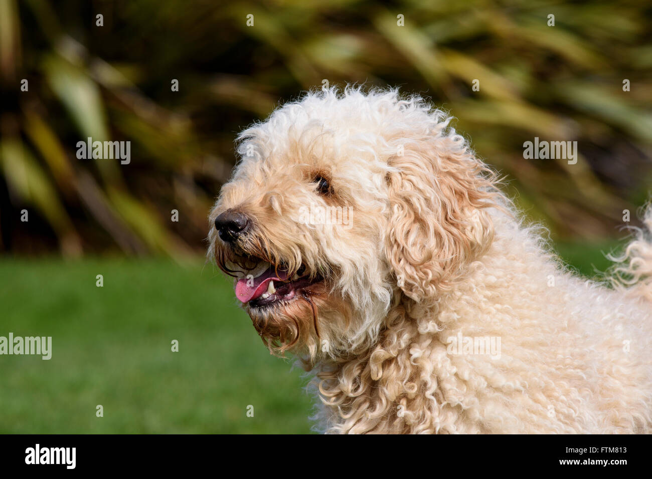 Beige (Apricot) coloured very hairy Labradoodle panting - Stock Image