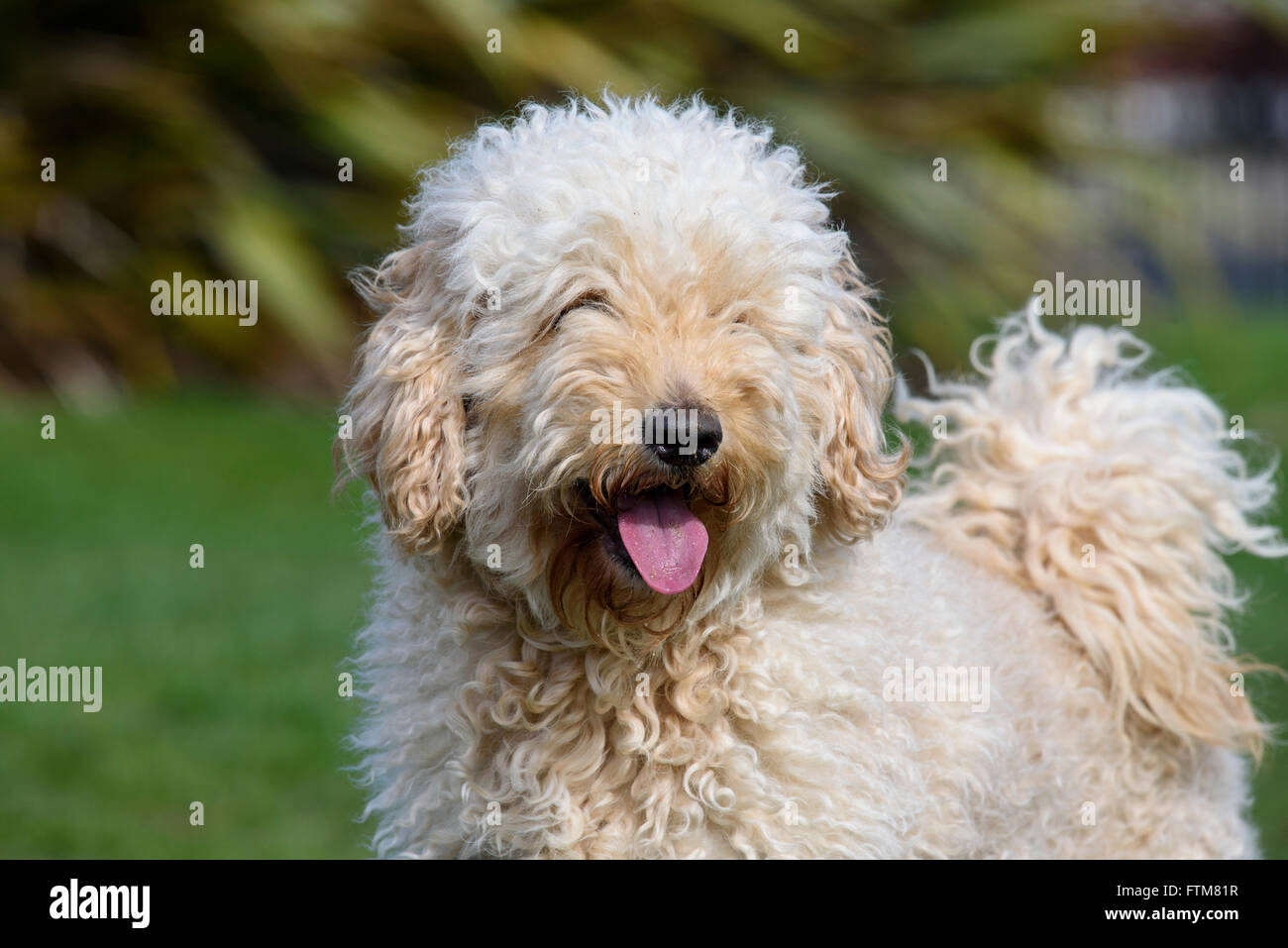 Beige (Apricot) coloured very hairy Labradoodle panting and looking at the camera - Stock Image