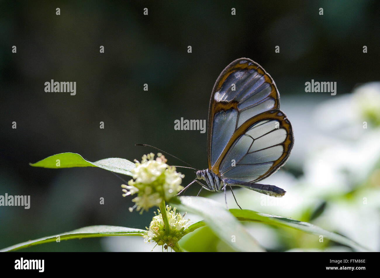 Butterfly family Nymphalidae - Stock Image