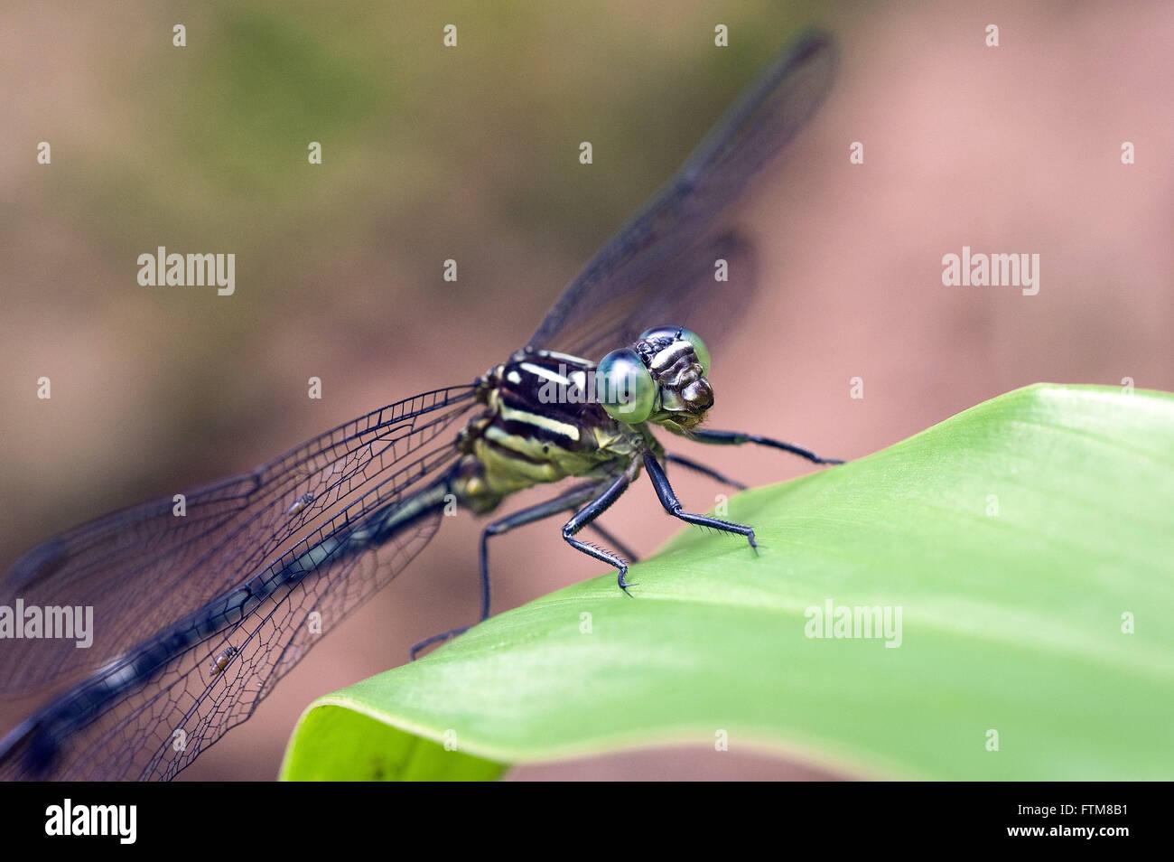 Libelula A Dragonfly
