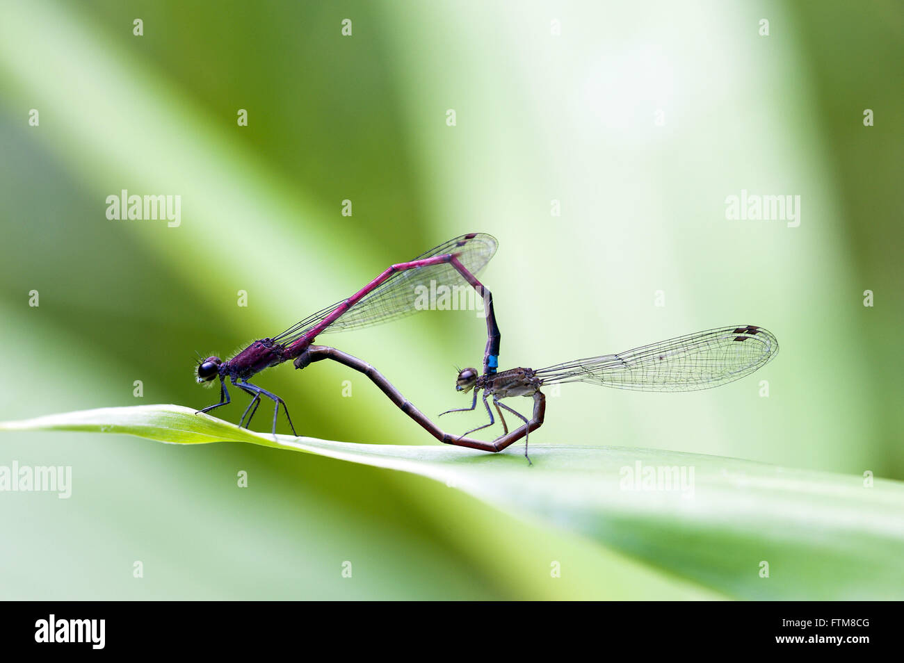 Mating dragonflies - Stock Image