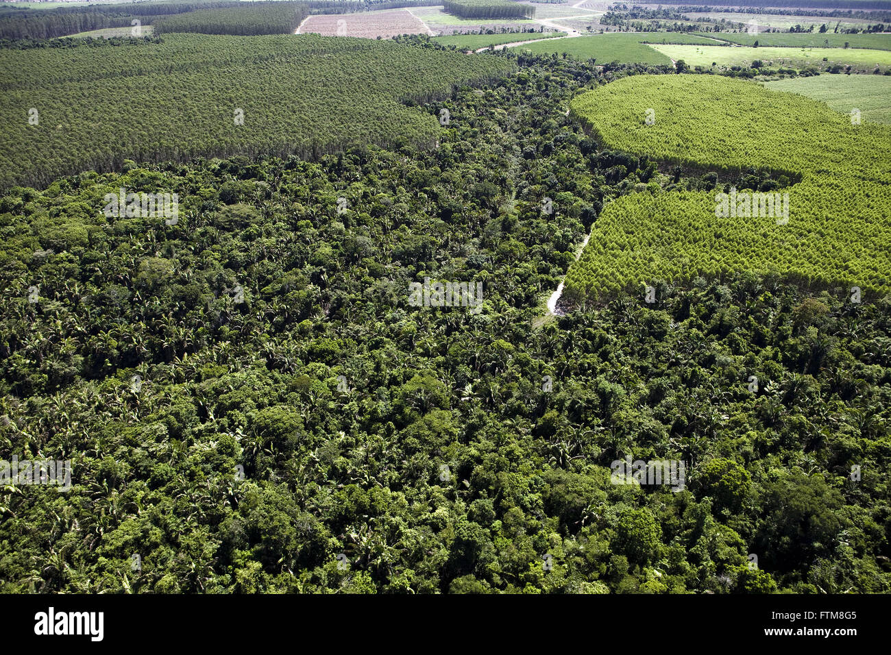Forest of eucalyptus pulp and paper companies along the area of environmental preservation - Stock Image