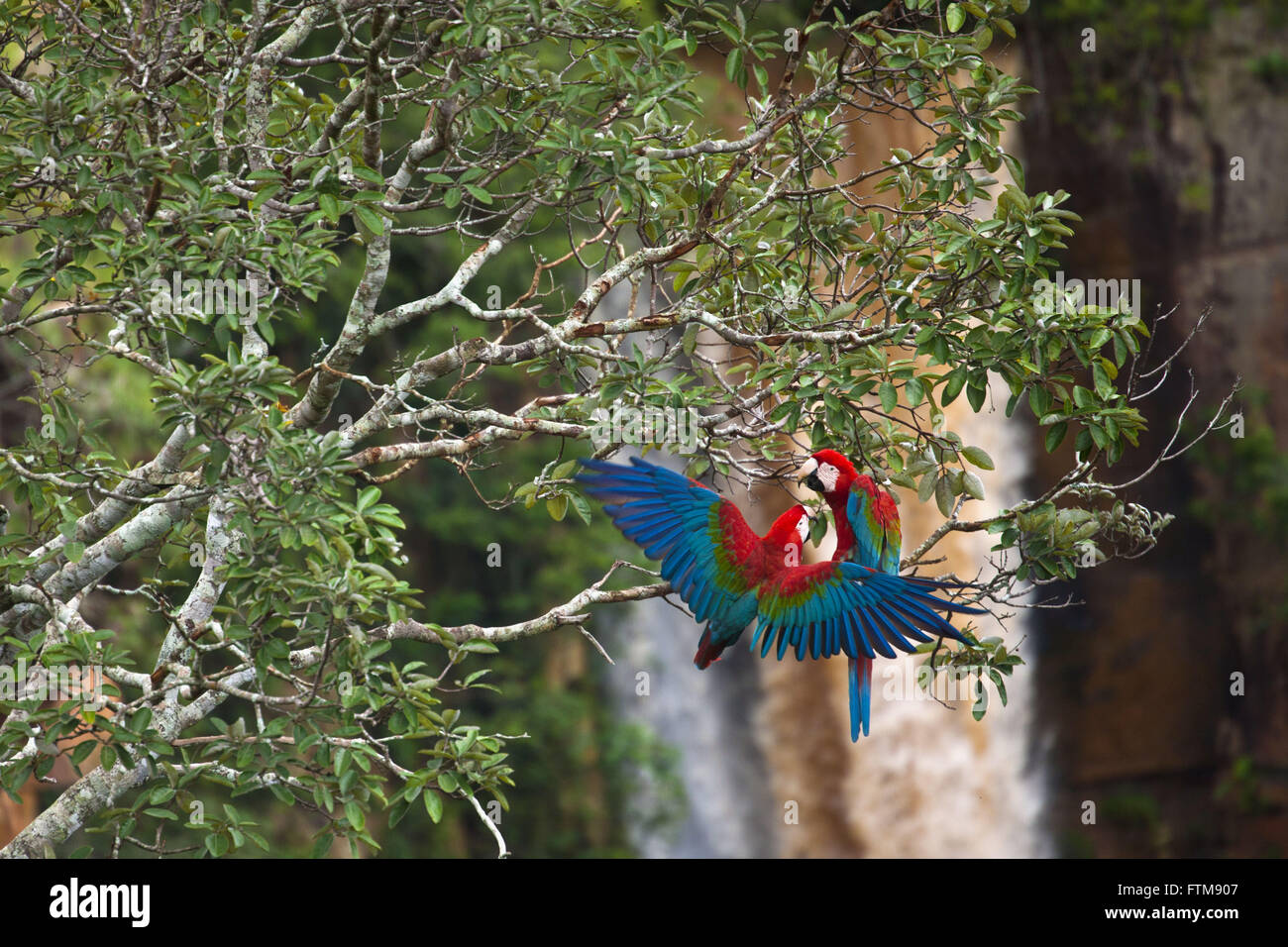 Couple of big-red Macaw - Ara chloropterus - mating attempt - Stock Image