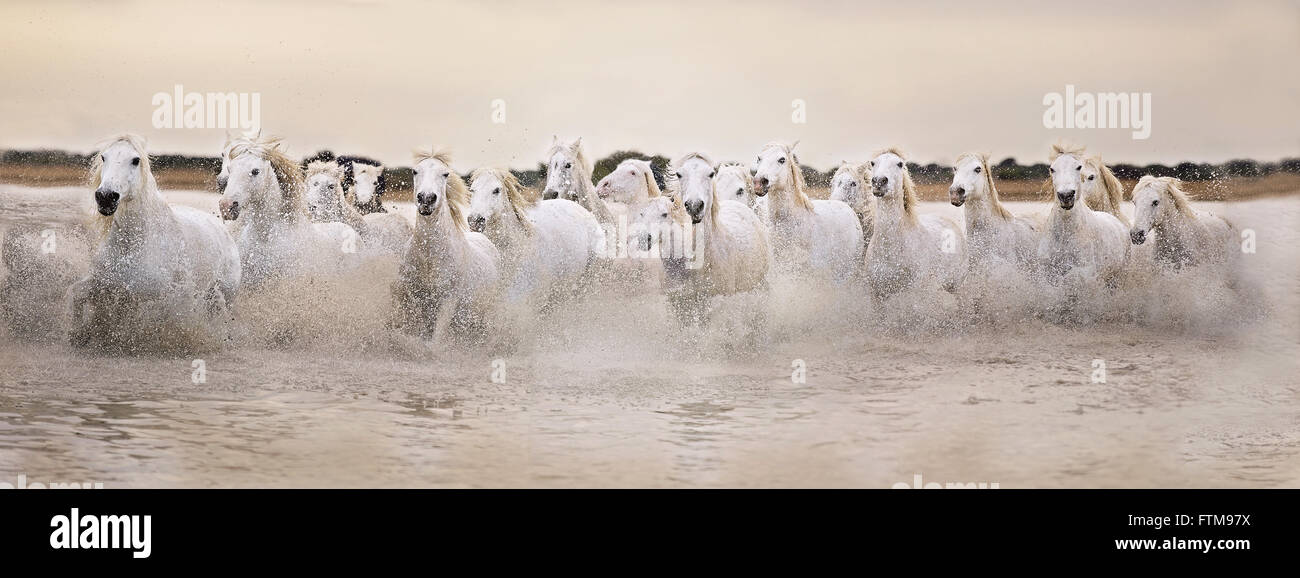 White horses of the Camargue galloping through water at sunset - Stock Image