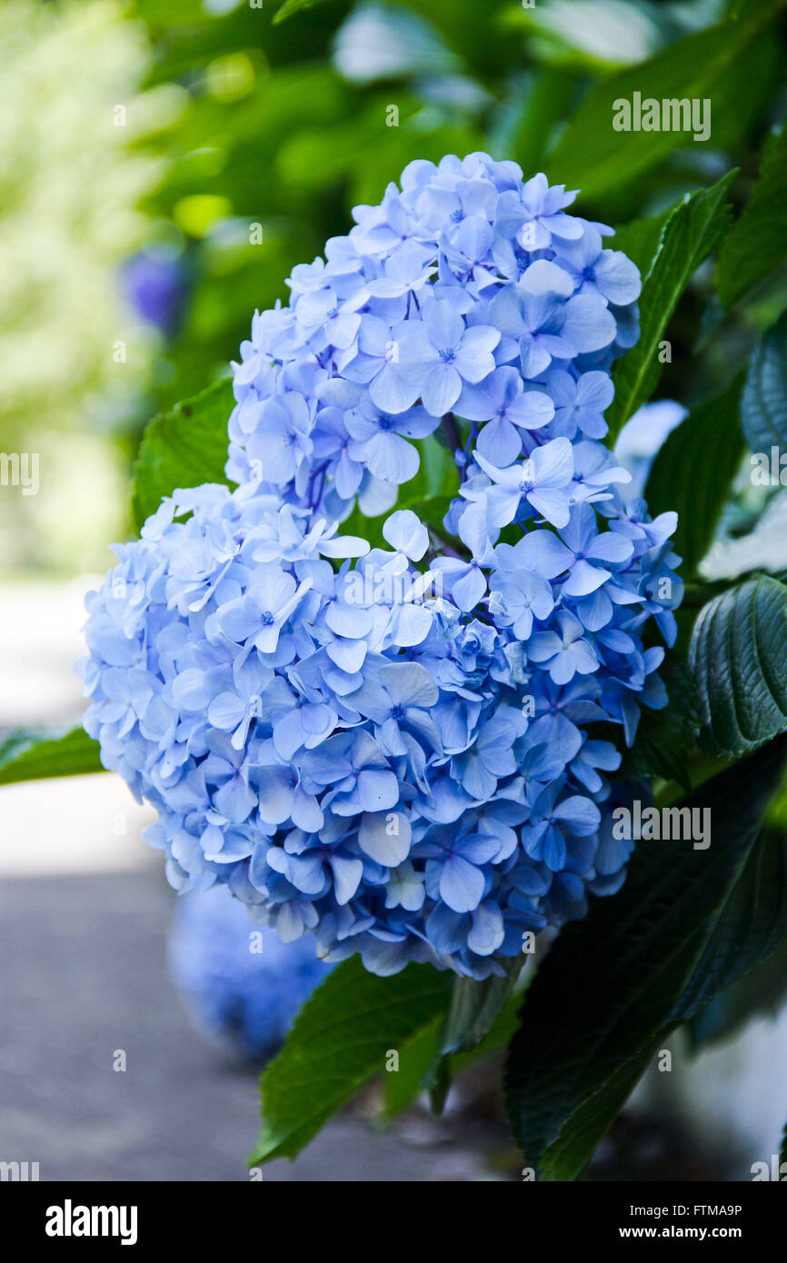 Detail of hydrangea on the roadside - Serra Gaucha - Stock Image