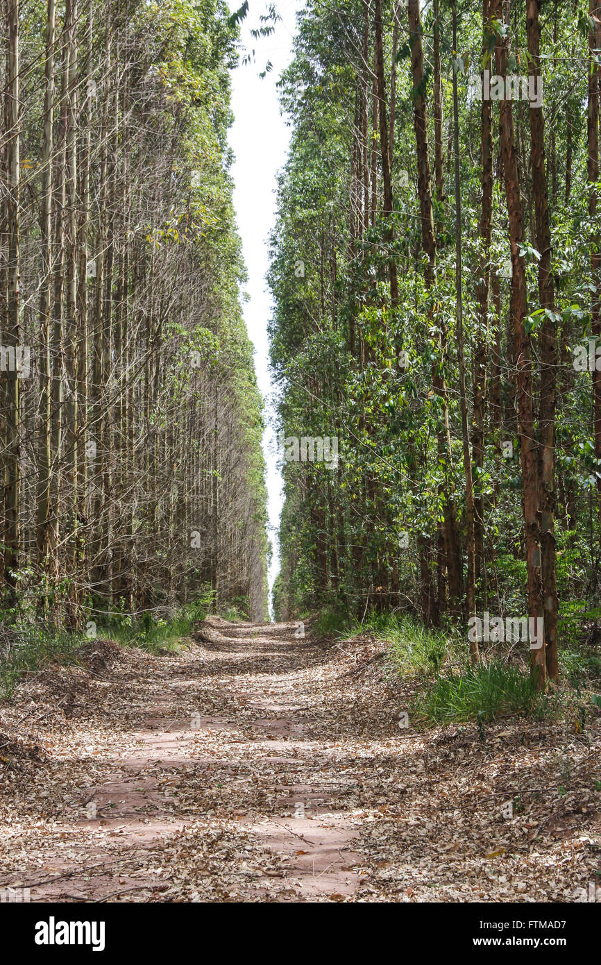 Track bordered by eucalyptus forest - Stock Image