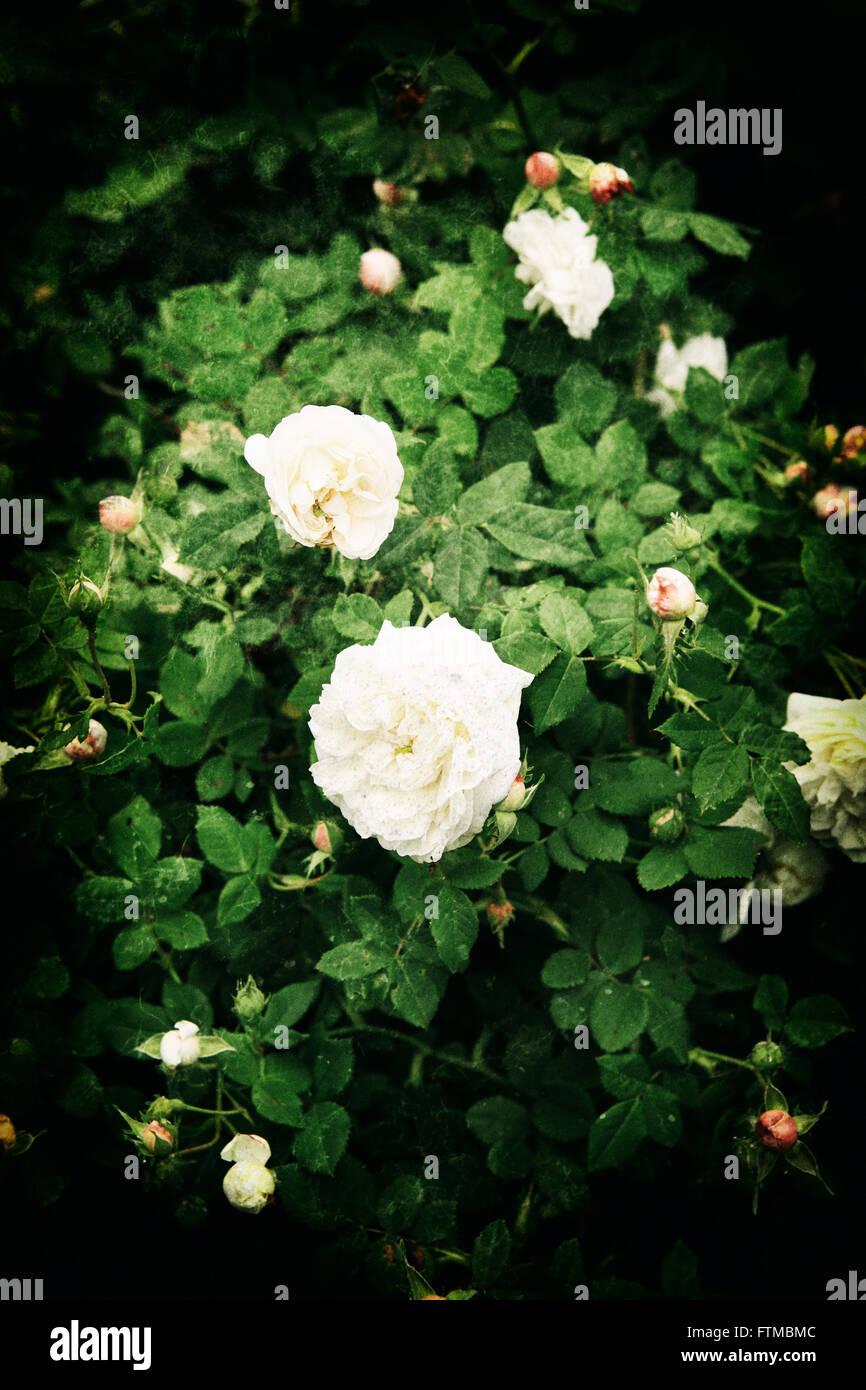 Image Of Vintage White Roses Bush In A Romantic Summer Garden
