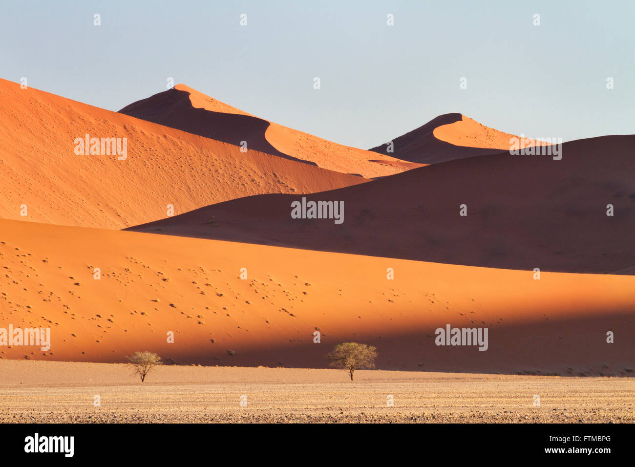 Mountainous sand-dunes and camelthorn acacia trees in the Namib desert in the Namib-Naukluft National Park of Namibia - Stock Image