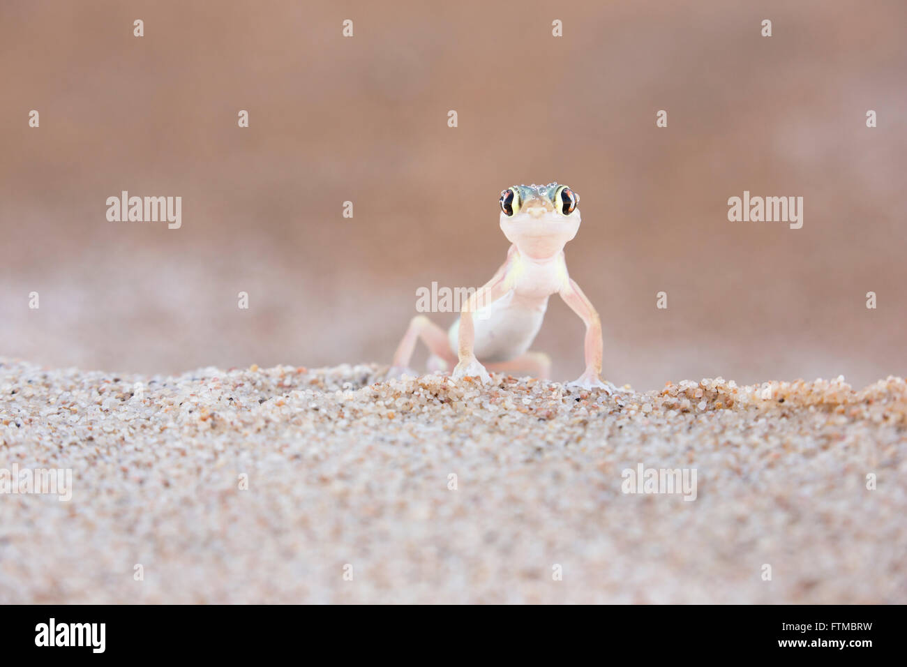 Palmato Gecko standing on top of a sand dune and looking at the camera - Stock Image