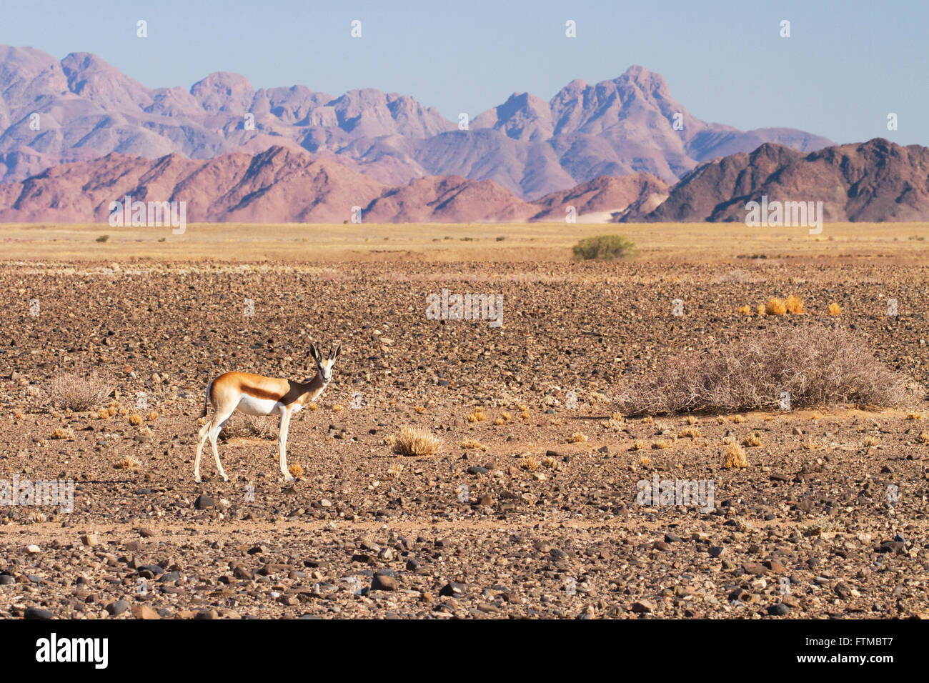 Loan springbok out in open arid environment with dramatic mountain range beyond in Namib-Naukluft National Park, - Stock Image