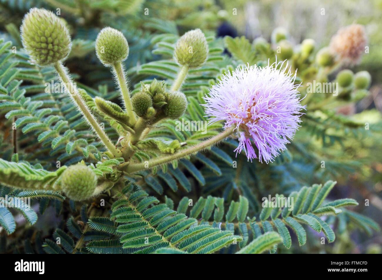 Calliandra - native cerrado vegetation of Goias - Stock Image
