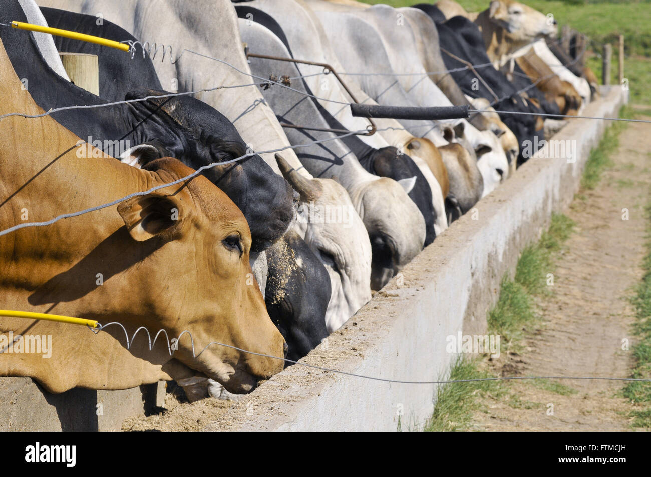 Creation of confined cattle Mestico eating at the trough - Stock Image