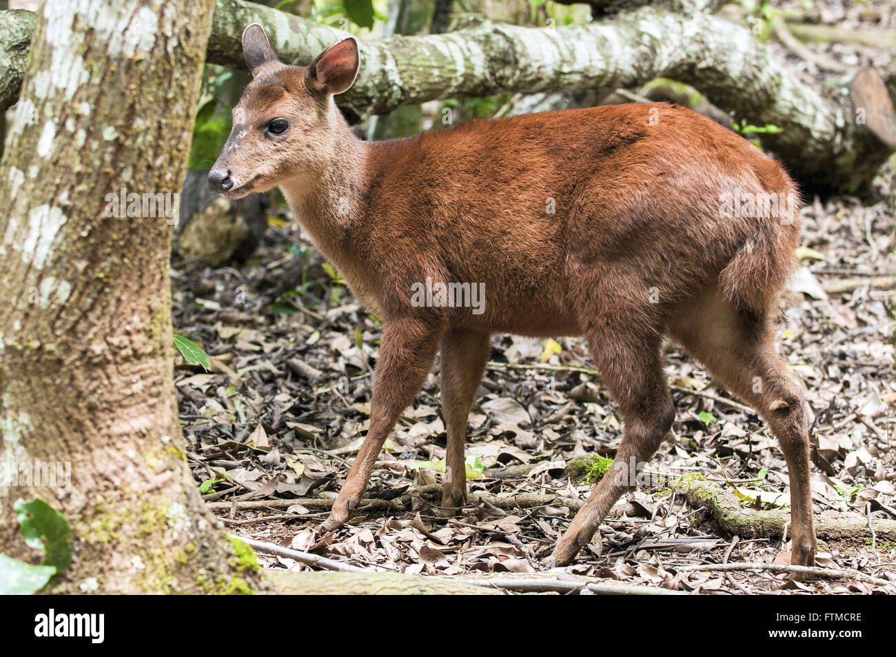 Deer Bororo also called deer cambuta - Stock Image