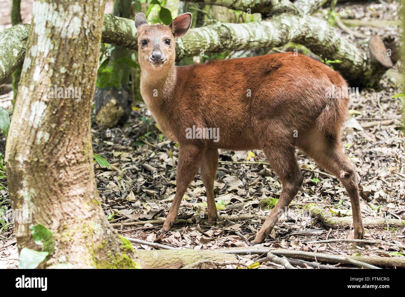 Deer Bororo also called deer cambuta - Stock Image