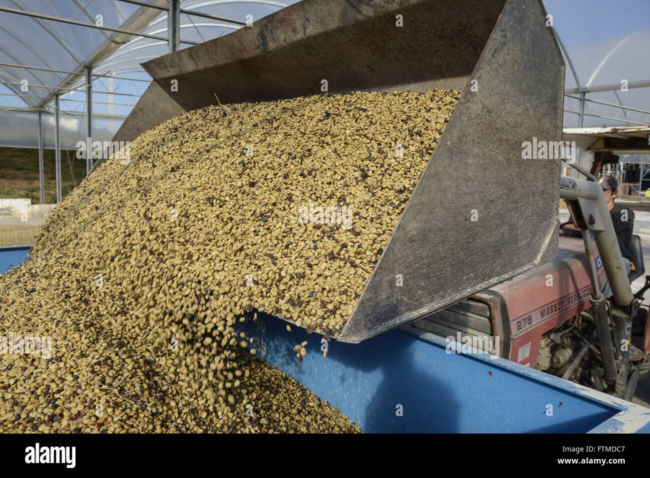 Downloading harvested coffee beans arabica - Stock Image