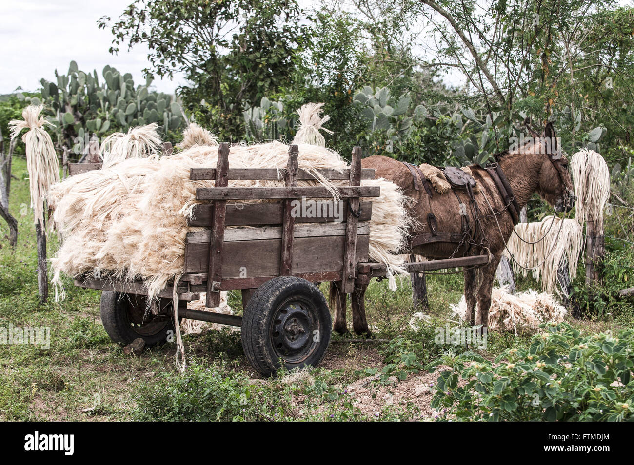 Carroca charged with sisal fibers processed and dried - Stock Image