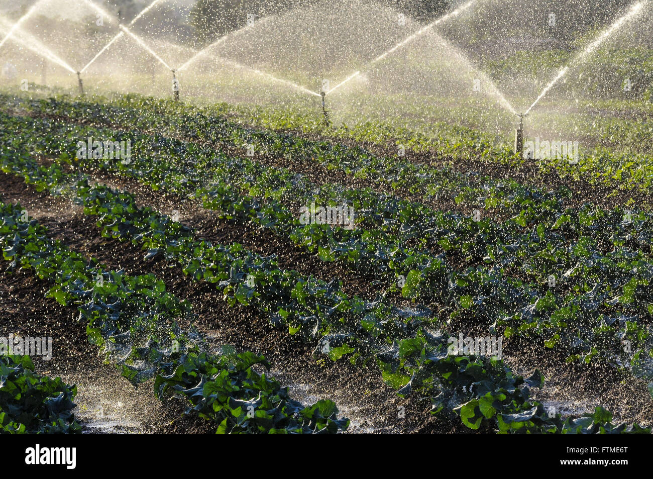 Plantation of broccoli being Irrigated - Stock Image