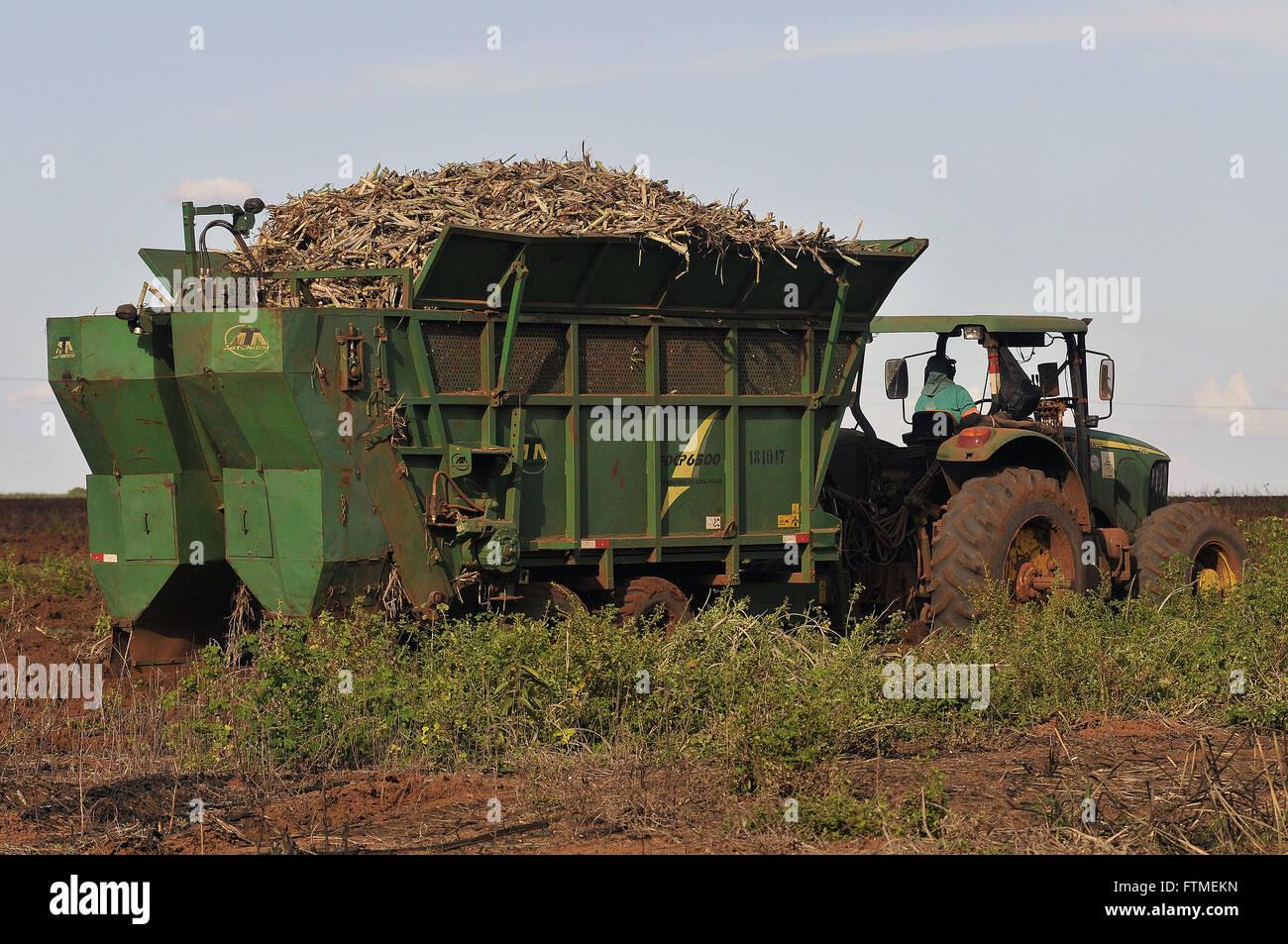 Mechanized planting of cane sugar - Stock Image