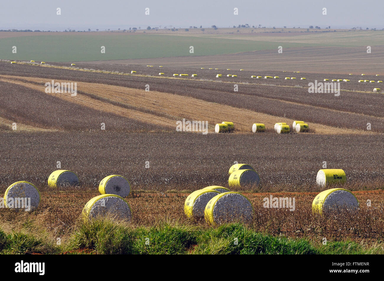 Pressed bales of cotton in the field by own harvester - Stock Image