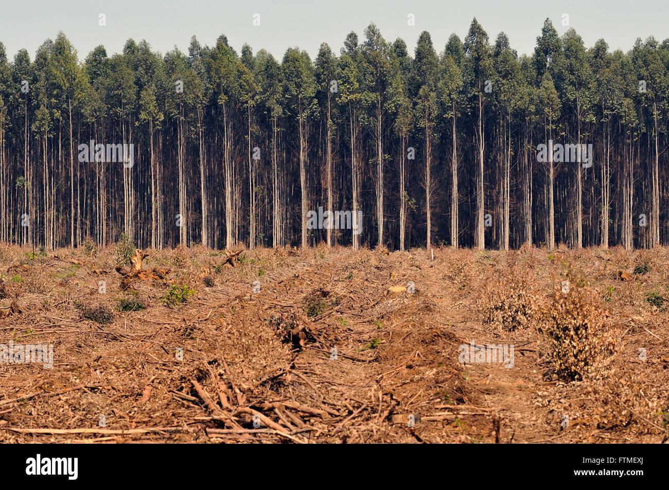 Plantation of Eucalyptus - Stock Image