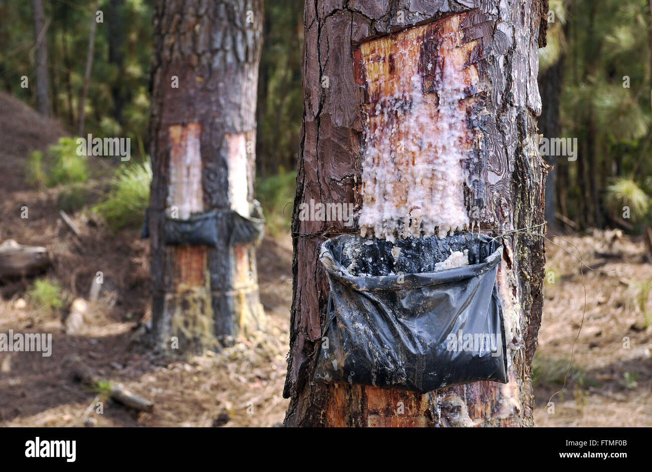 Collecting pine resin in plantation - Stock Image