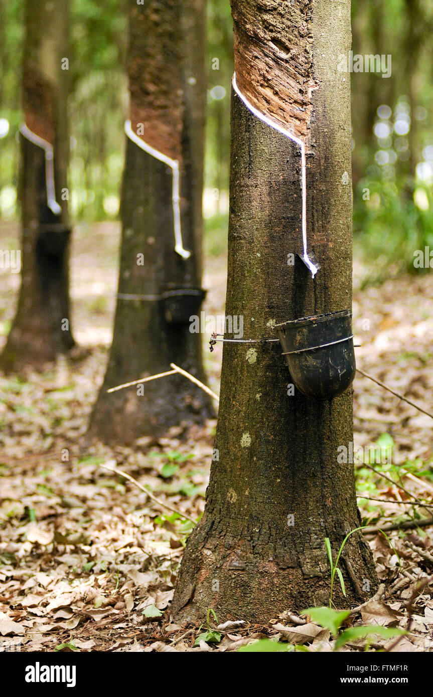 Cultivation of rubber - latex sap falling container - Stock Image