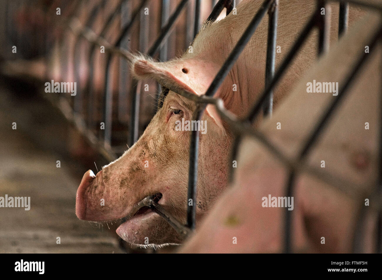 Criacaode pigs in confinement - Stock Image