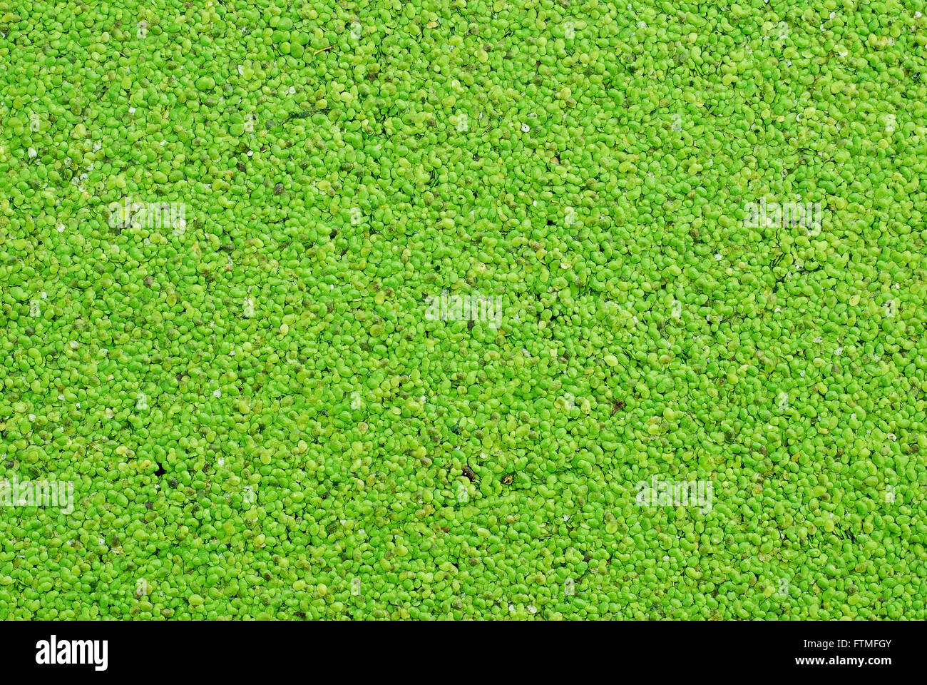green algae texture - Stock Image