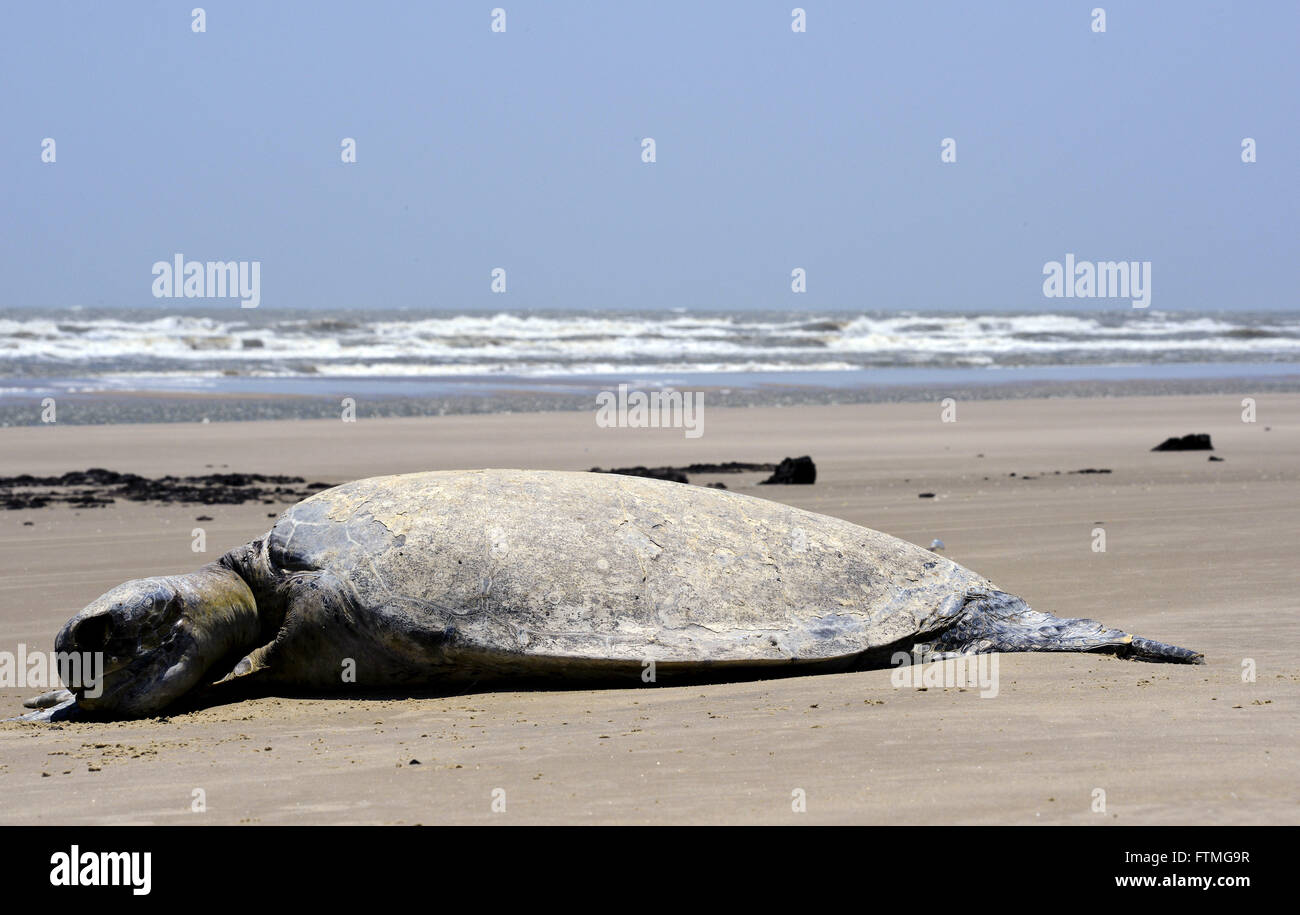 Dead turtle on the beach between small and large Maranhao Lencois - Stock Image