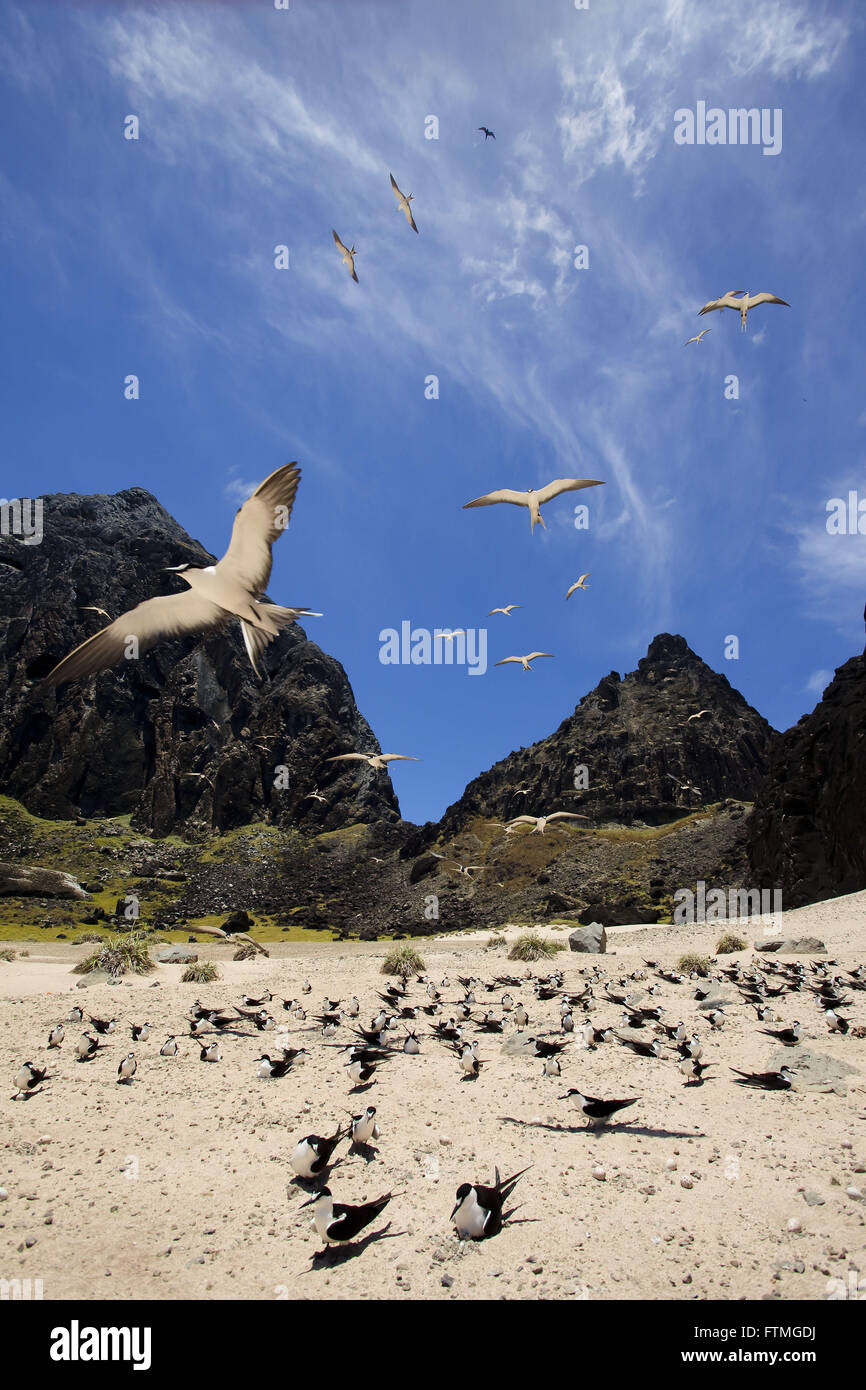 Ninhal grazina of birds on the island of Trinidad in the middle of the Atlantic Ocean - Stock Image