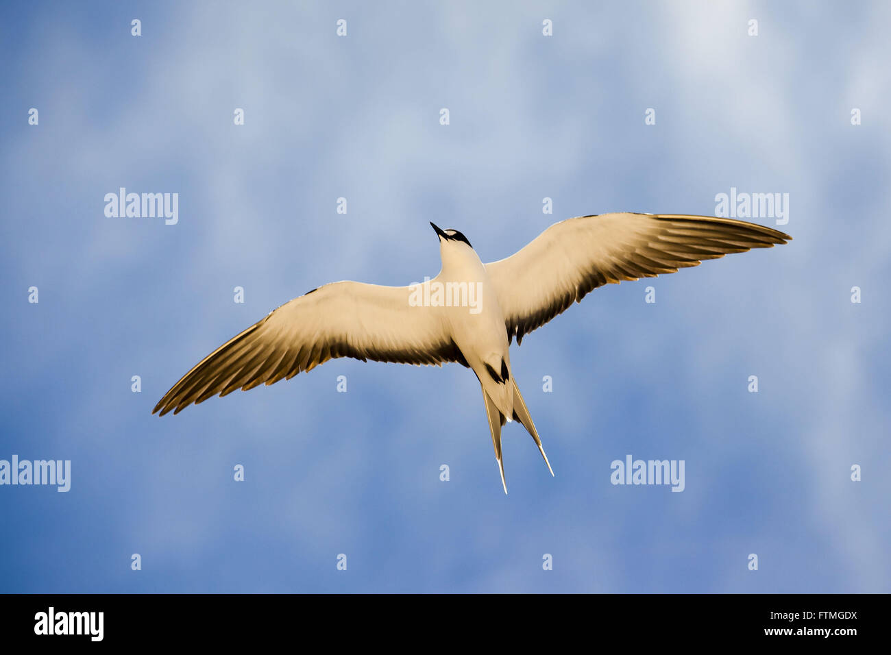 Grazina Bird flying at Trindade Island in the middle of the Atlantic Ocean - Stock Image