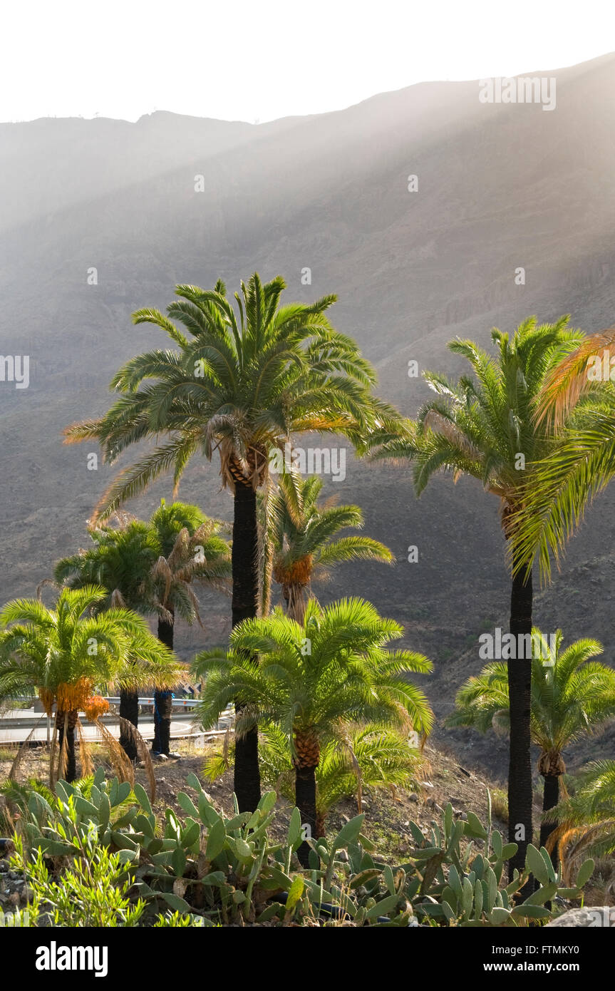 A lush oasis of palm trees and cacti in warm afternoon sun with mountains of central Gran Canaria behind Canary Stock Photo