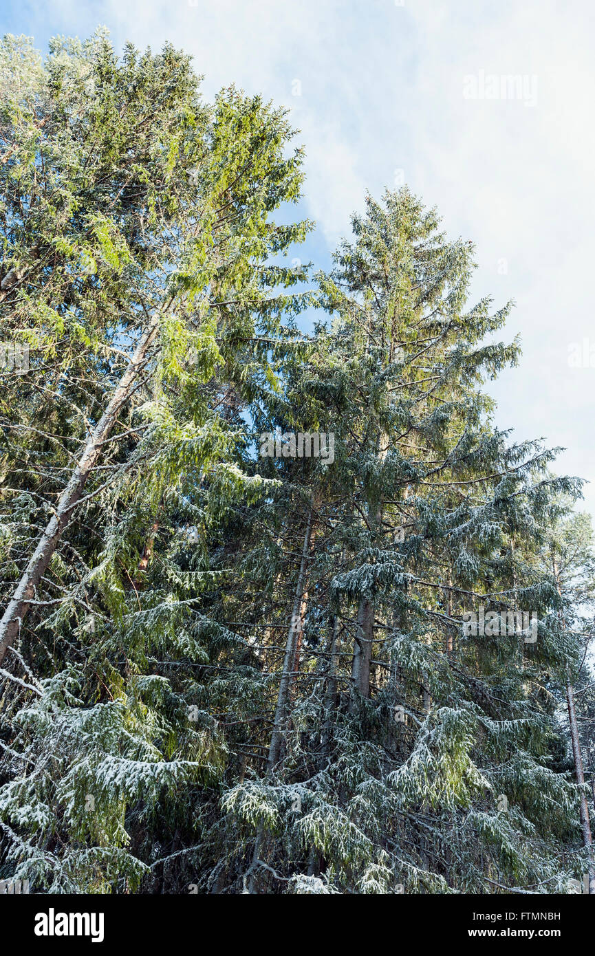 Newly fallen snow on spruce forest. - Stock Image
