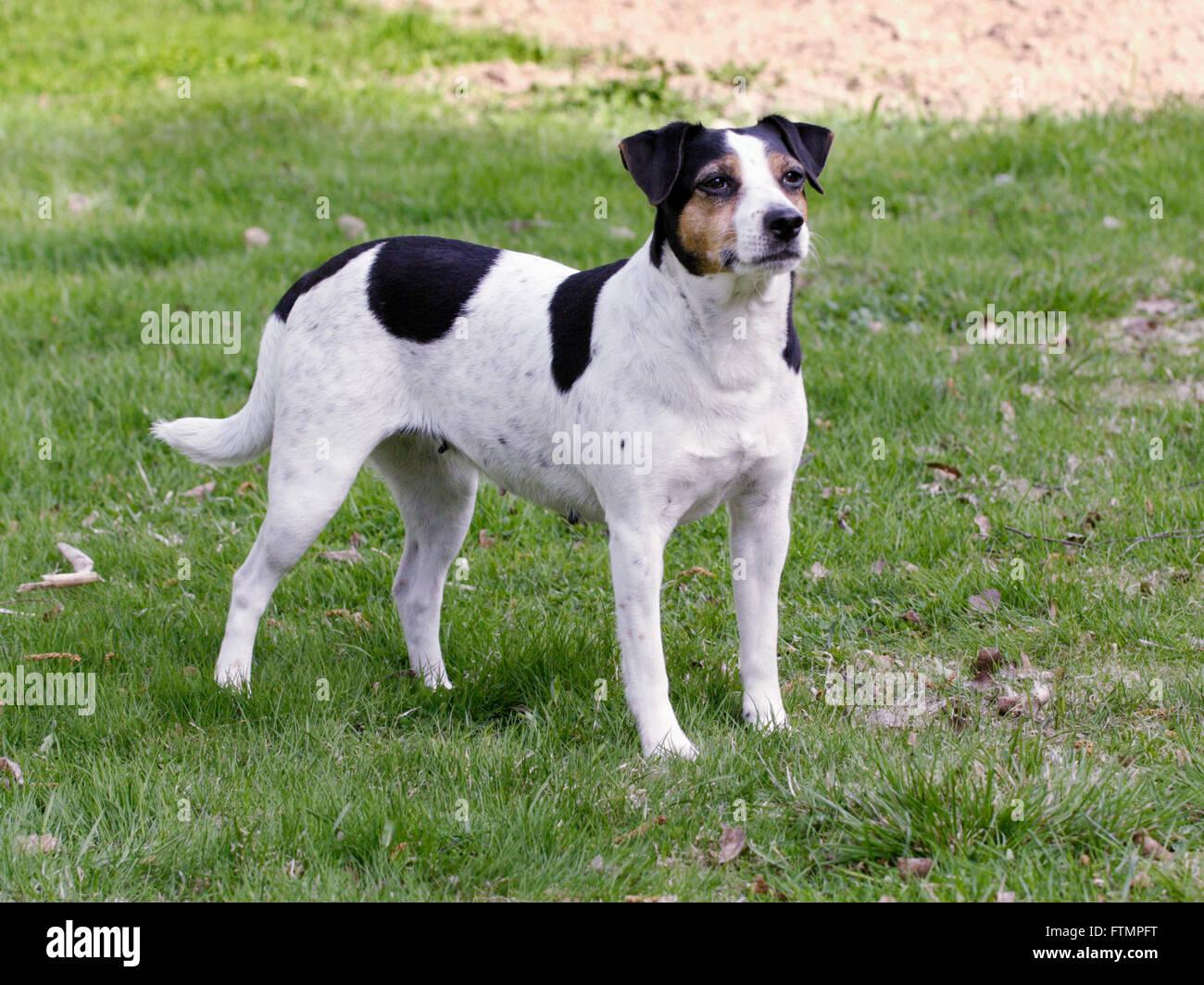 Danish-Swedish farm dog - Stock Image