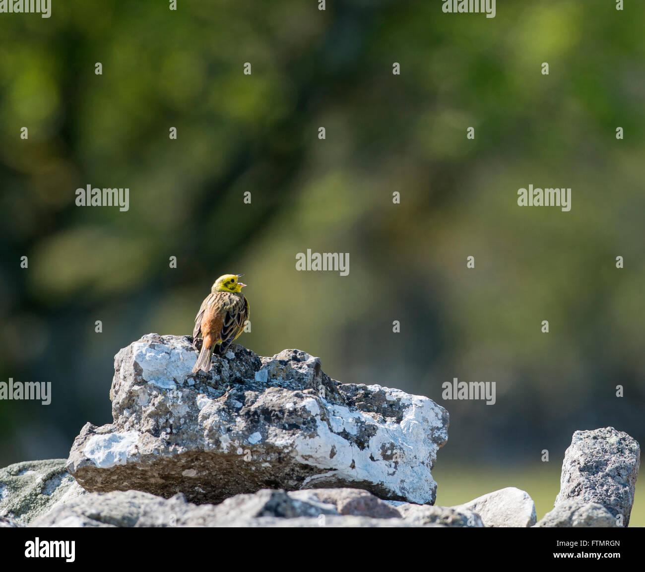 Yellowhammer (Emberiza citrinella) - Stock Image