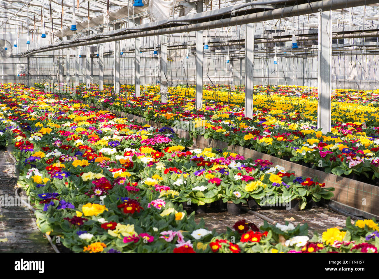 Colorful spring primroses growing in flowerpots in a large hothouse at a nursery - Stock Image
