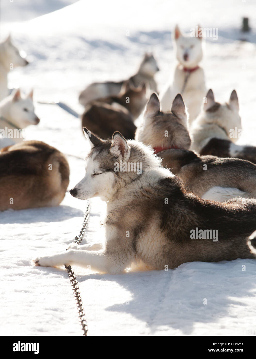 Huskies spending time outdoors in Lapland Finland Stock Photo
