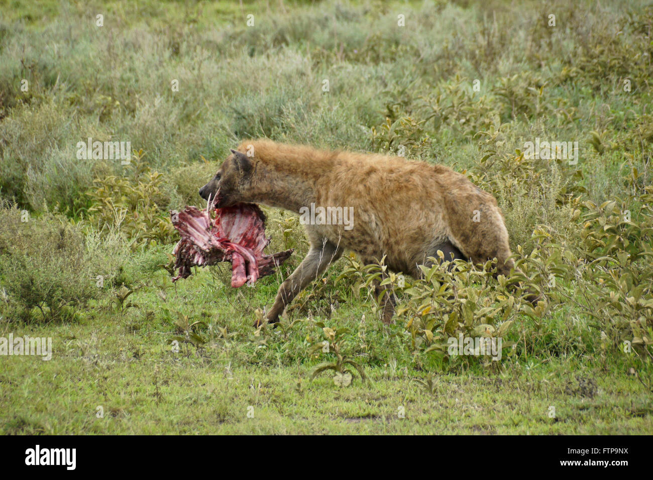 Pregnant spotted hyena carrying ribcage of wildebeest, Ngorongoro Conservation Area (Ndutu), Tanzania - Stock Image