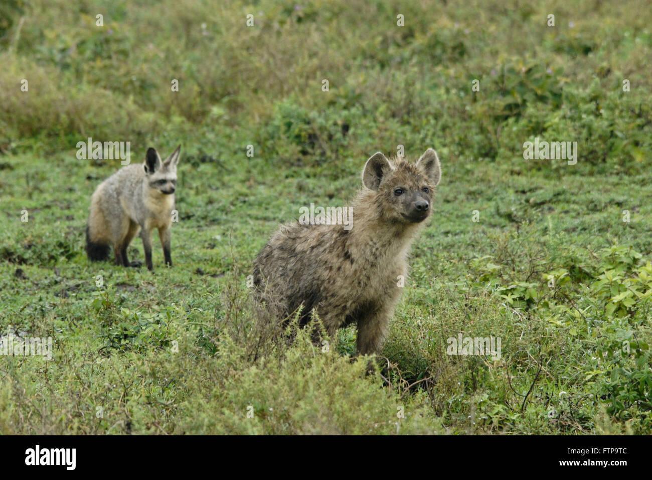 Bat-eared fox wary of curious young spotted hyena, Ngorongoro Conservation Area (Ndutu), Tanzania Stock Photo