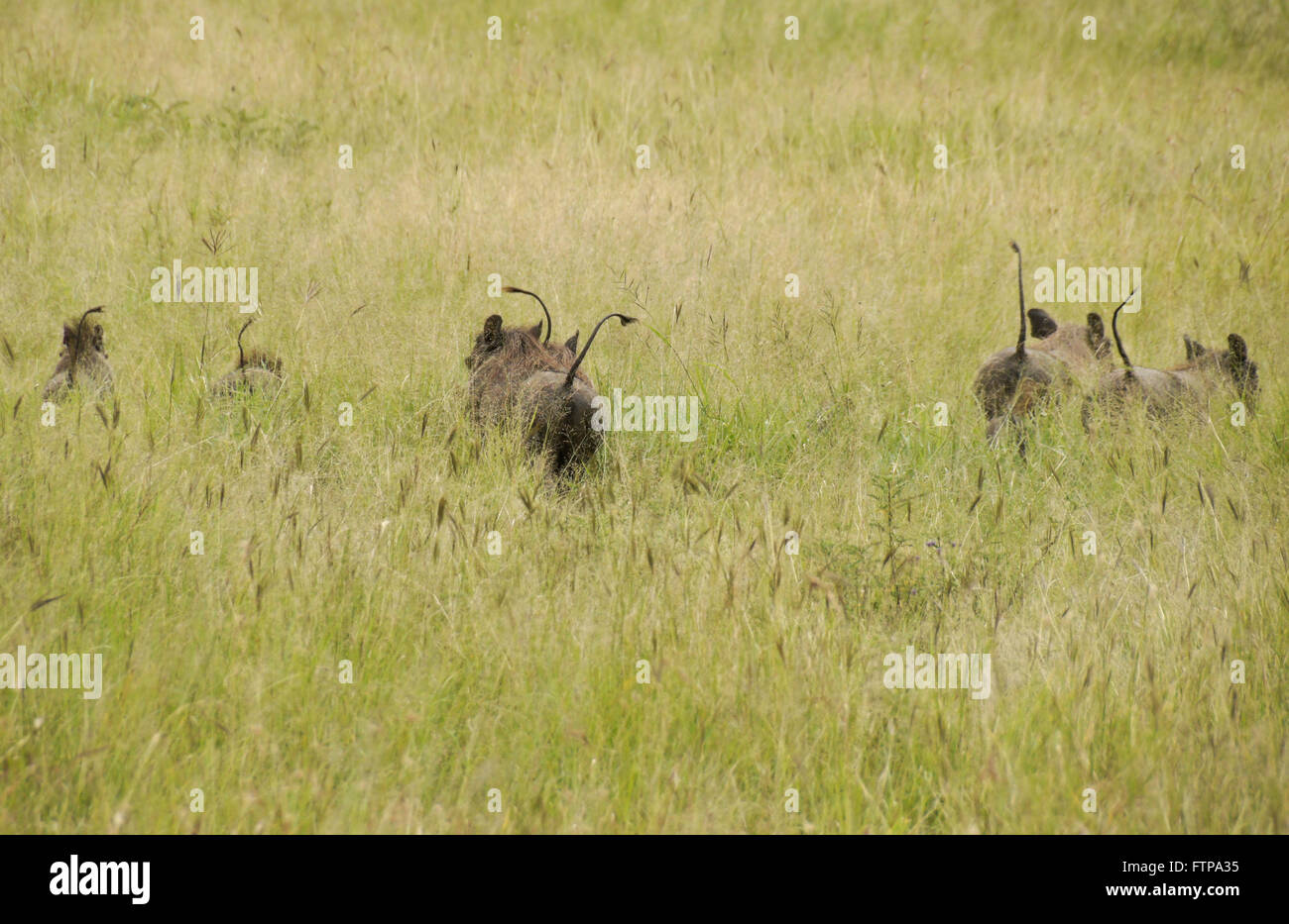 Family of warthogs running away in long grass, tails held high, Serengeti National Park, Tanzania - Stock Image