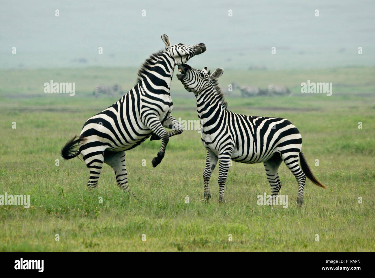 Burchell's (common, plains) zebra stallions fighting, Ngorongoro Crater, Tanzania - Stock Image