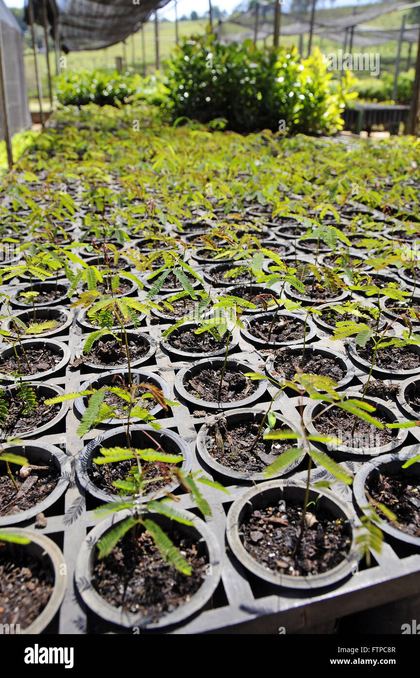 Nursery seedlings of native trees in the Atlantic Forest Extreme - south of MG - Stock Image