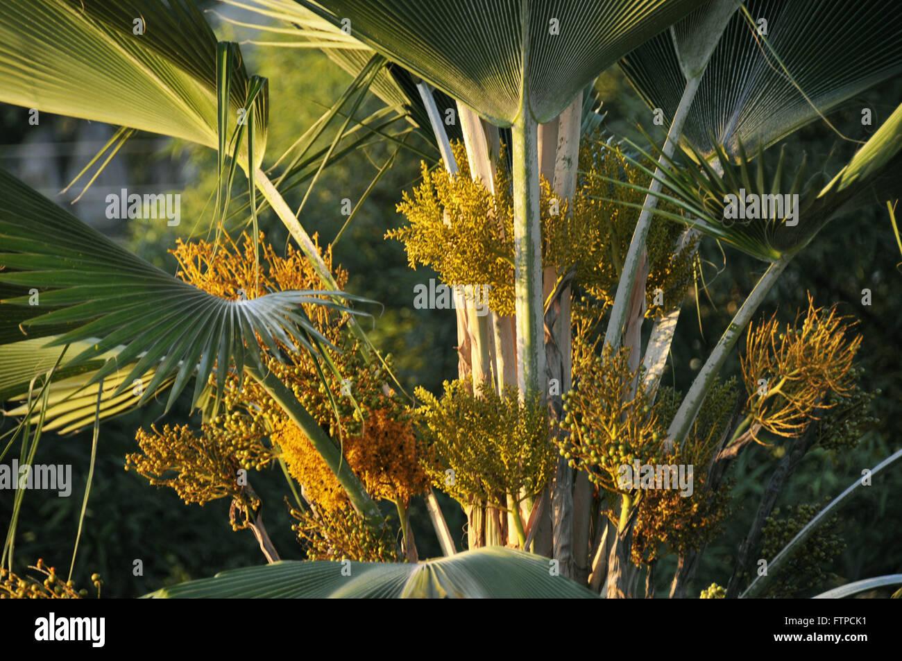 Flower Carnauba - prunifera Copernicia - Stock Image