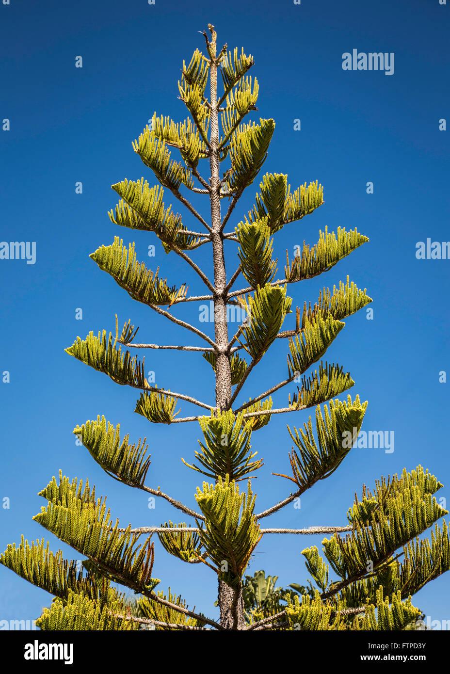 Tall Norfolk Pine Tree growing in Florida Stock Photo: 101296831 - Alamy