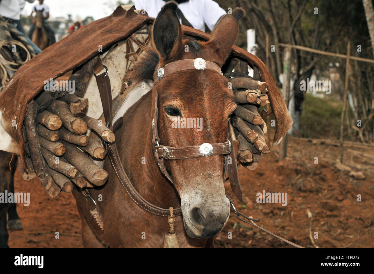 Mule with yoke full of firewood in the traditional festival of the Burning Garlic - Stock Image