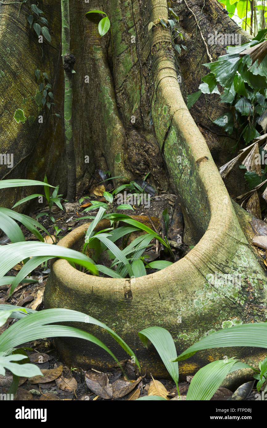 Exposed root of a centennial tree in Parque Henrique Lage - Stock Image