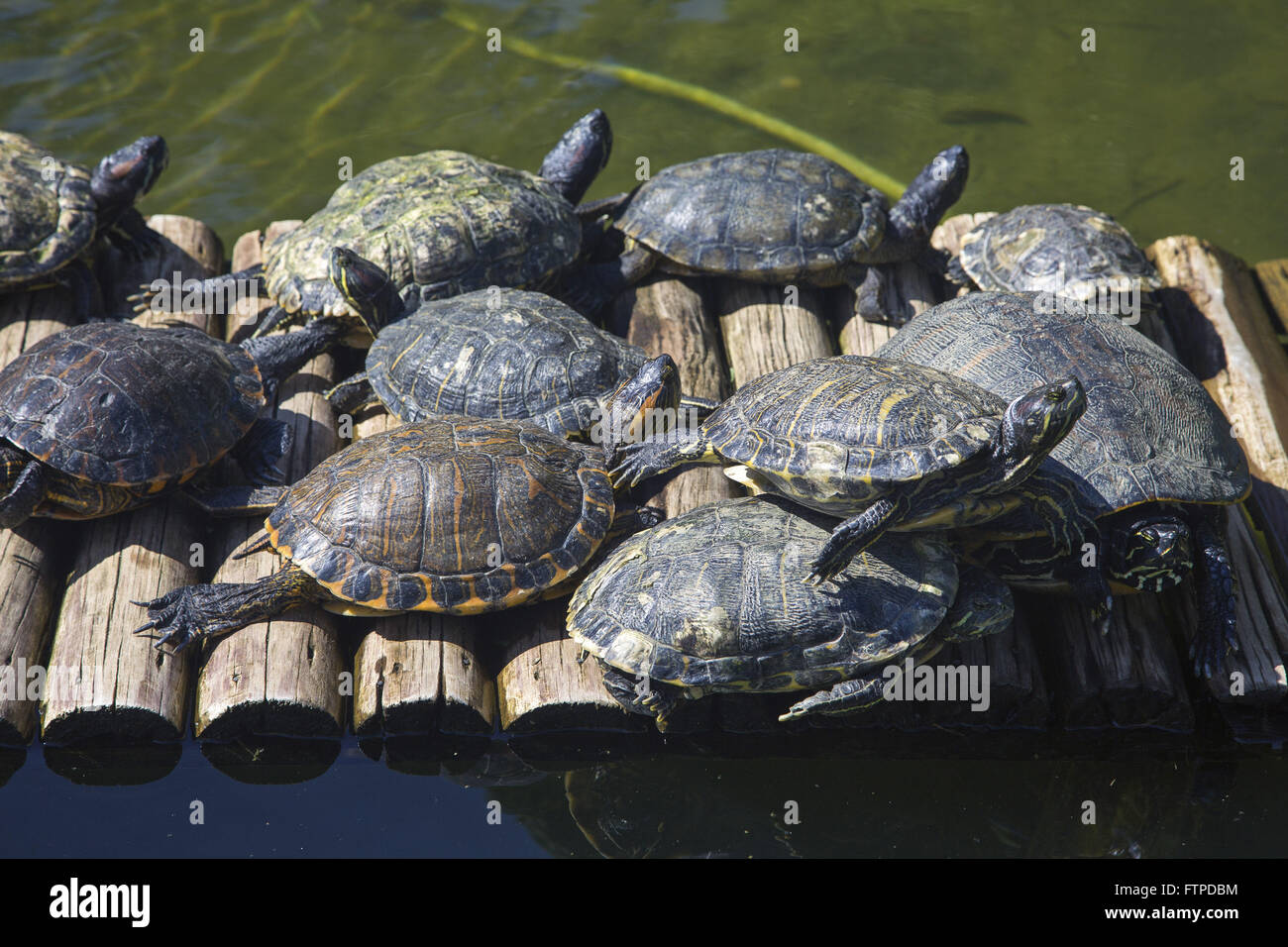 Turtles in Lake Botanical Garden of Rio de Janeiro - Stock Image